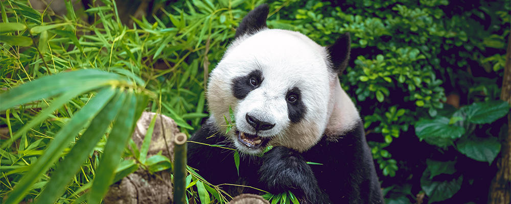 giant-panda-ARTICLE-PAGE.jpg