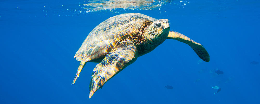 green-sea-turtle-ARTICLE-PAGE.jpg