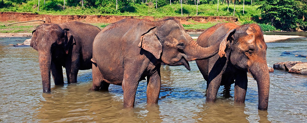 indian-elephant-ARTICLE-PAGE.jpg