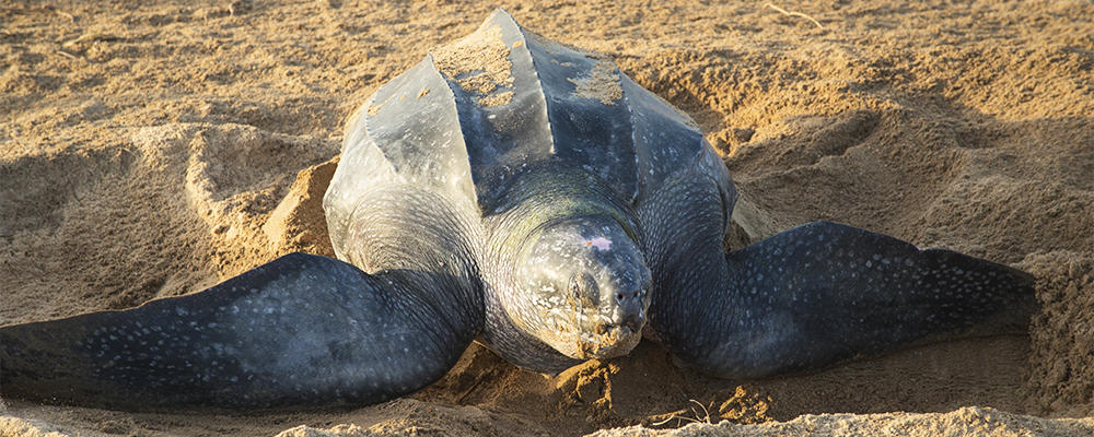 leatherback sea turtle essay Teacher at sea explores the science behind leatherback sea turtle research the largest leatherback on record (a male) stranded on the coast of wales in 1988 and.