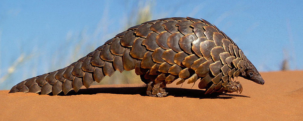 Image result for pangolin