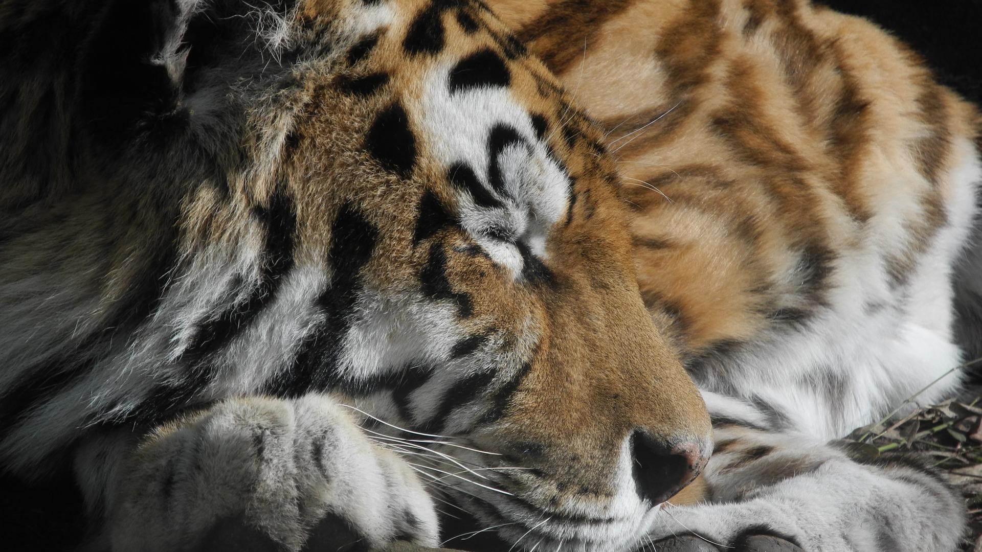 10 Ways Tigers Are Used As Symbols Animal Planet