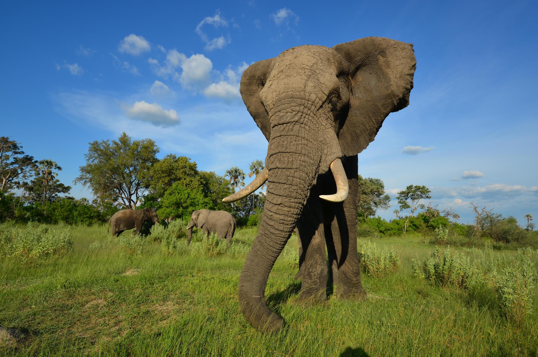 Jabu Elephant Dodo Heroes
