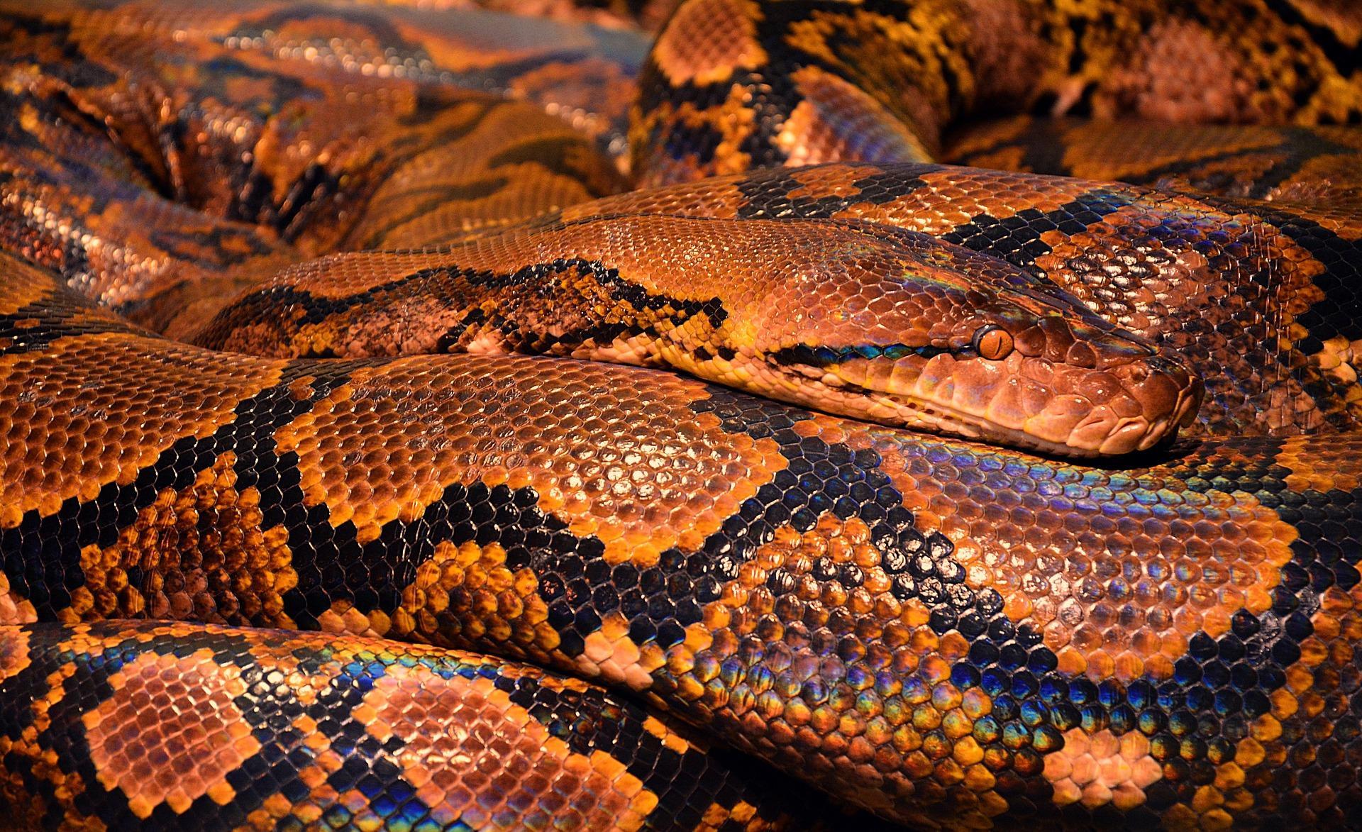 A very large snake