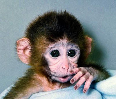 Meet ANDi (inserted DNA spelled backward), the first genetically modified rhesus monkey. Cloned by embryo splitting, ANDi was a step toward designing new treatments for human genetic disorders.