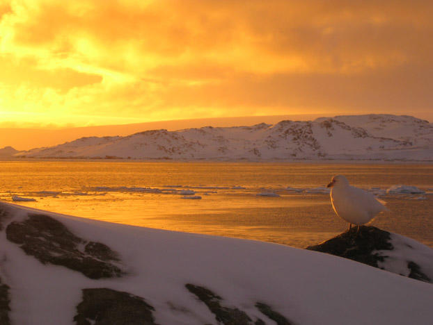 In the foreground, you can see a Snowy Sheathbill bird perched against the background of golden sunlight near Palmer Station. The Snowy Sheathbill is one of the many tough species that make a living in Antarctica -- though perhaps by less-than-traditionally-industrious means. In addition to being a scavenger, this bird is also a kleptoparasite, meaning it gets much of its nutrition from what it can steal from penguins and other local predators. Next, you'll see a stunning view of the floating ice in Arthur Harbor.