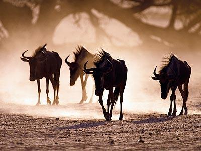 The gnu or wildebeest herds of Africa live generally difficult lives, migrating constantly to survive the onslaught of the seasonal climate variations on one hand, while keeping an eye out for predatory stalkers like lions and wild dogs on the other. Just like humans, these muscular herbivores have to search out reliable sources of food and water in the wild, and like most deserts, the Kalahari is not quick to supply these desperately needed resources. Next, take a look at what most sources agree is the hottest major desert in the world.
