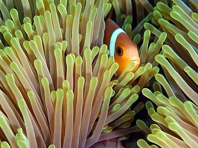 The stinging fingers of the sea anemone are like electric knives swaying in the tide -- most creatures wouldn't dare go near them. This clownfish, however, has evolved a mucus coating that makes the anemone harmless to its scaly exterior. Clownfish and sea anemones make a great team: The forest of stingers protects the clownfish from its larger predators, and it also provides great leftovers for the clownfish after the anemone snags a meal. Meanwhile, the clownfish cleans the sea anemone, chases away predators and oxygenates the surrounding water.