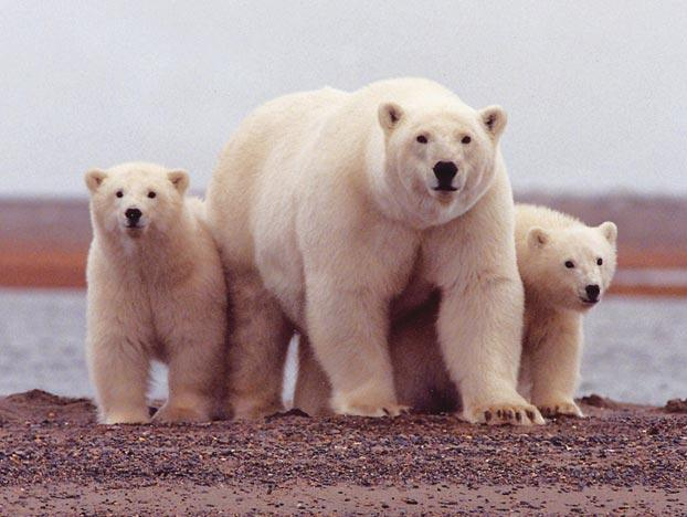 """""""These are my polar bear cubs. You get your own!"""" It makes perfect biological sense for an adult polar bear to assume a protective posture in the presence of her offspring. Such an instinct helps ensure that the cubs will survive, and with them, the adult's genes get a better shot at future proliferation. For this reason, it seems that the existence of juvenile cuteness is probably no mere accidental byproduct of body development. In fact, many scientists believe the cute factor plays a key role in eliciting just the kind of protective response that the menacing mommy shows in this picture."""
