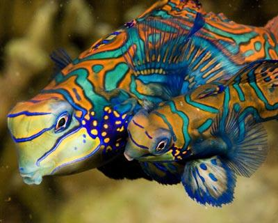 A pair of mandarinfish swim close together prior to spawning. Mandarinfish are reef-dwellers native to the Pacific Ocean. Fish can be masters of animal camouflage. See an example of this next.