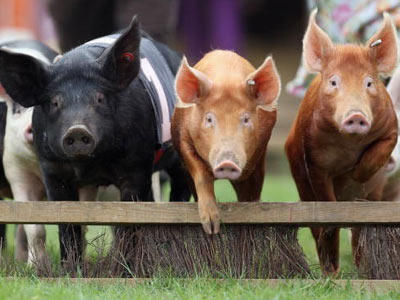 Sustainable agriculture means addressing environmental health, economic profitability, and social and economic equity in farming. We'll look at some practices in this gallery. Here's the first-ever pig race at the Surrey County Show in England.