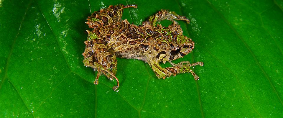 Mutable frog