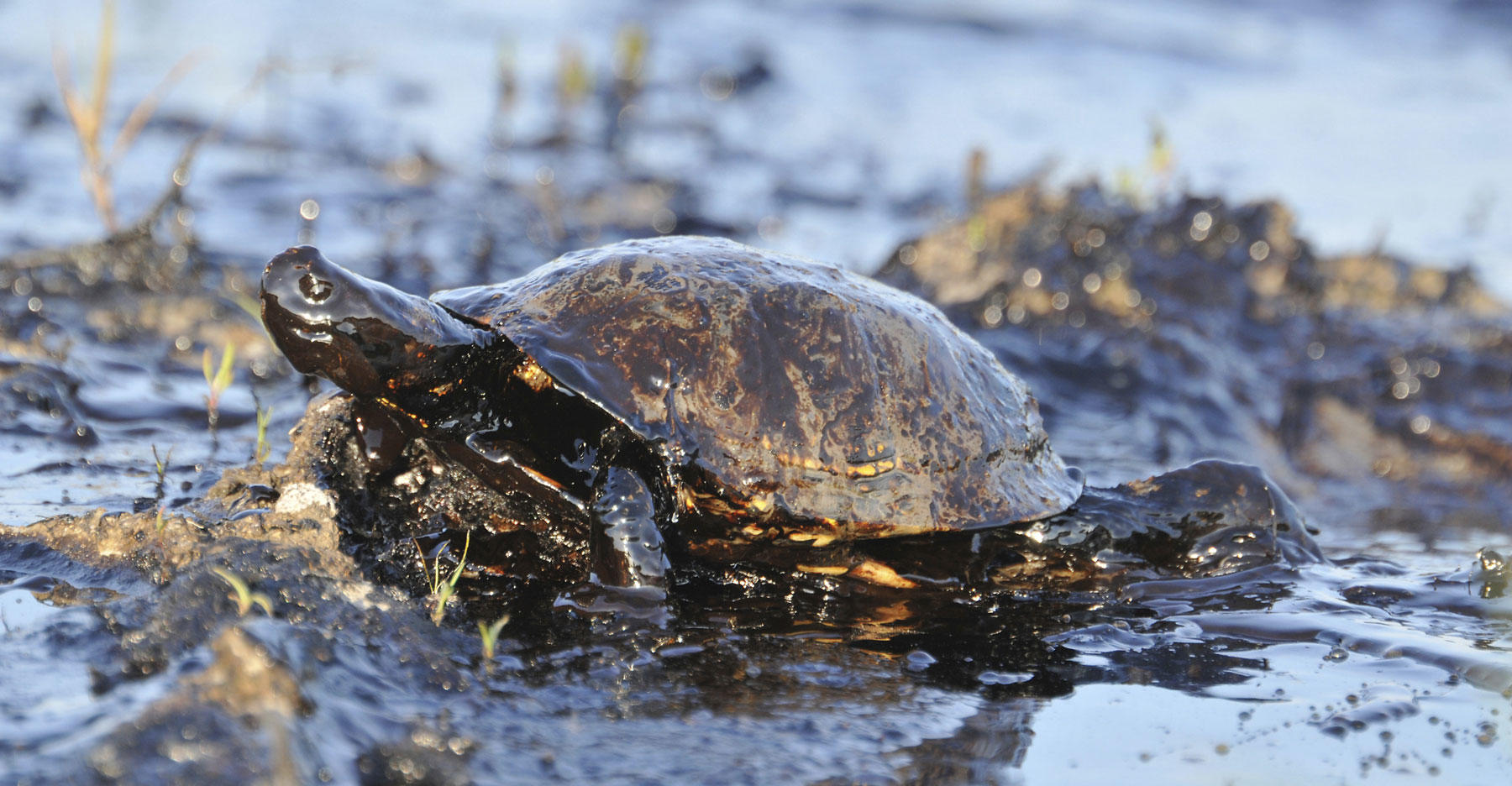 Turtle covered in oil