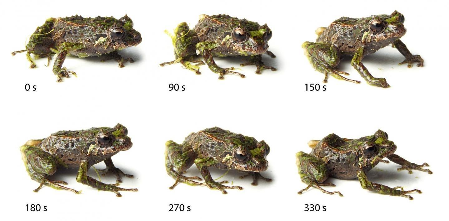 Mutable rainfrog
