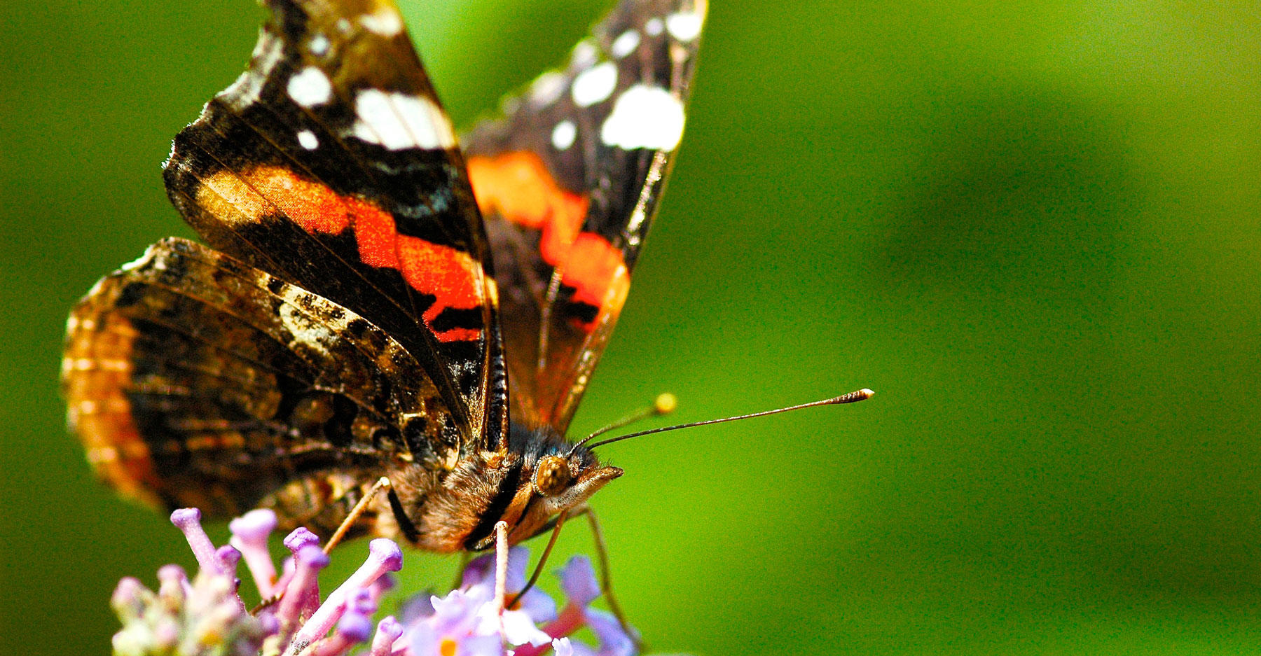 Red admiral butterfly (Vanessa atalanta)