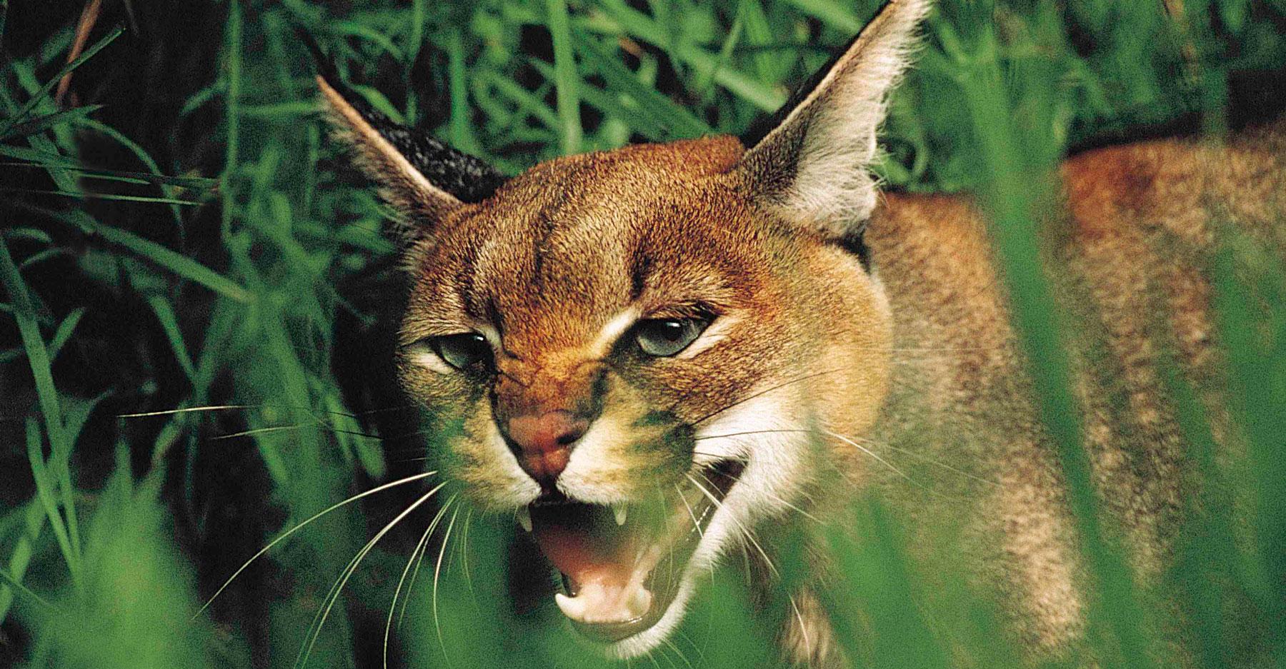 Portrait of carcal cat.