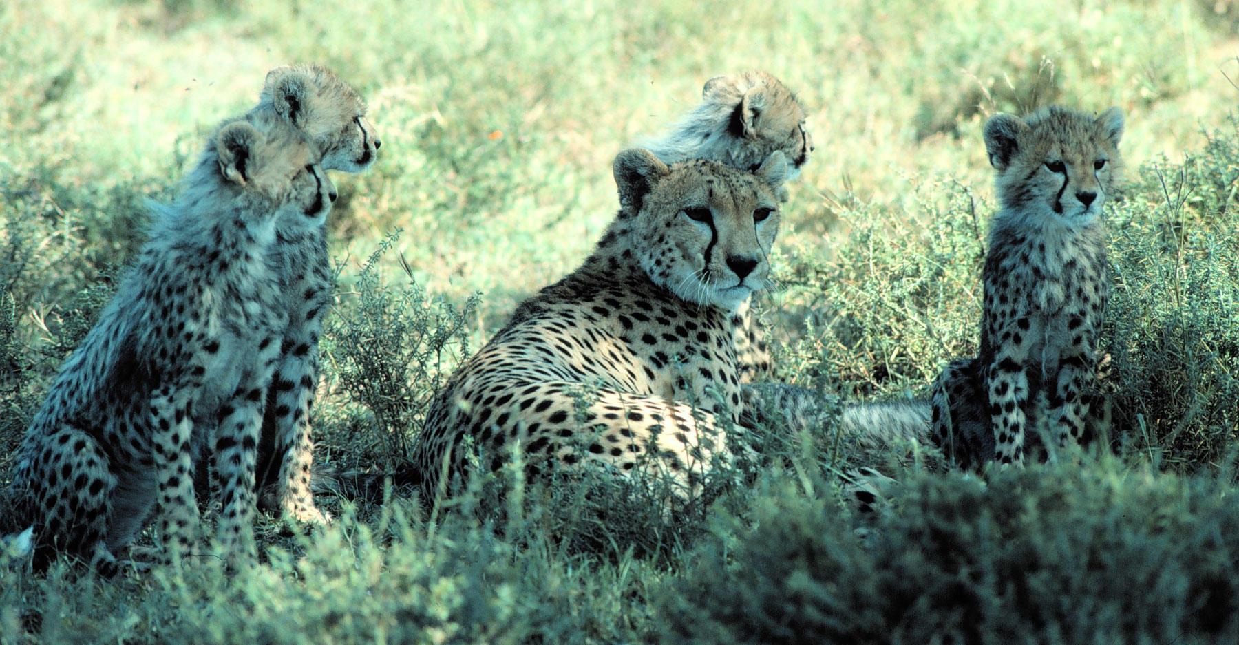 Cheetahs relaxing