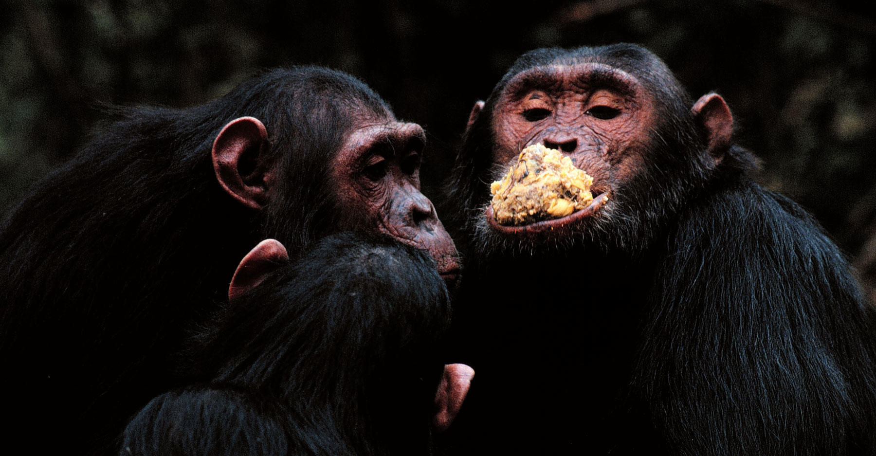 Three chimps eating