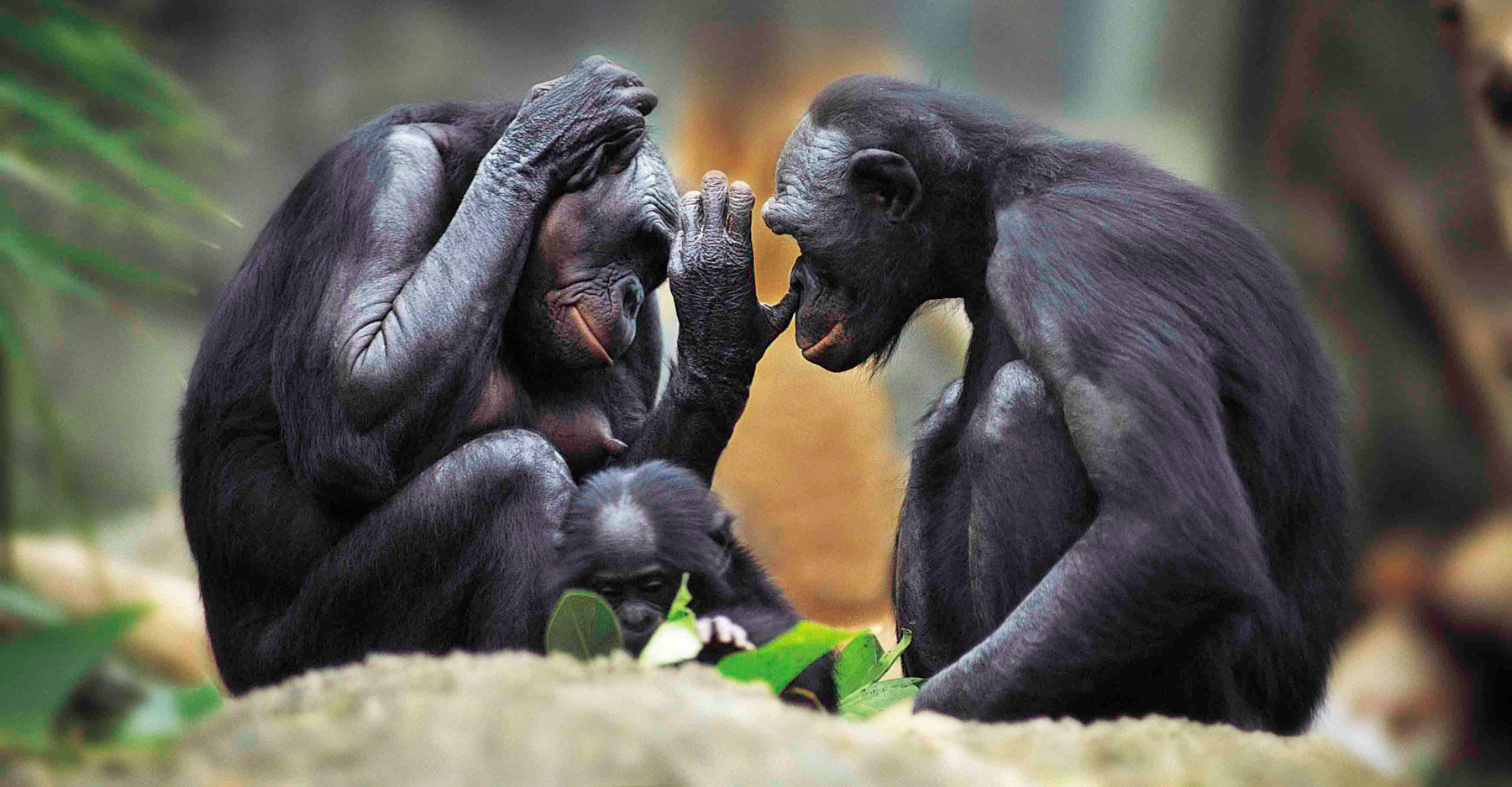Chimpanzee picking his mate's nose.