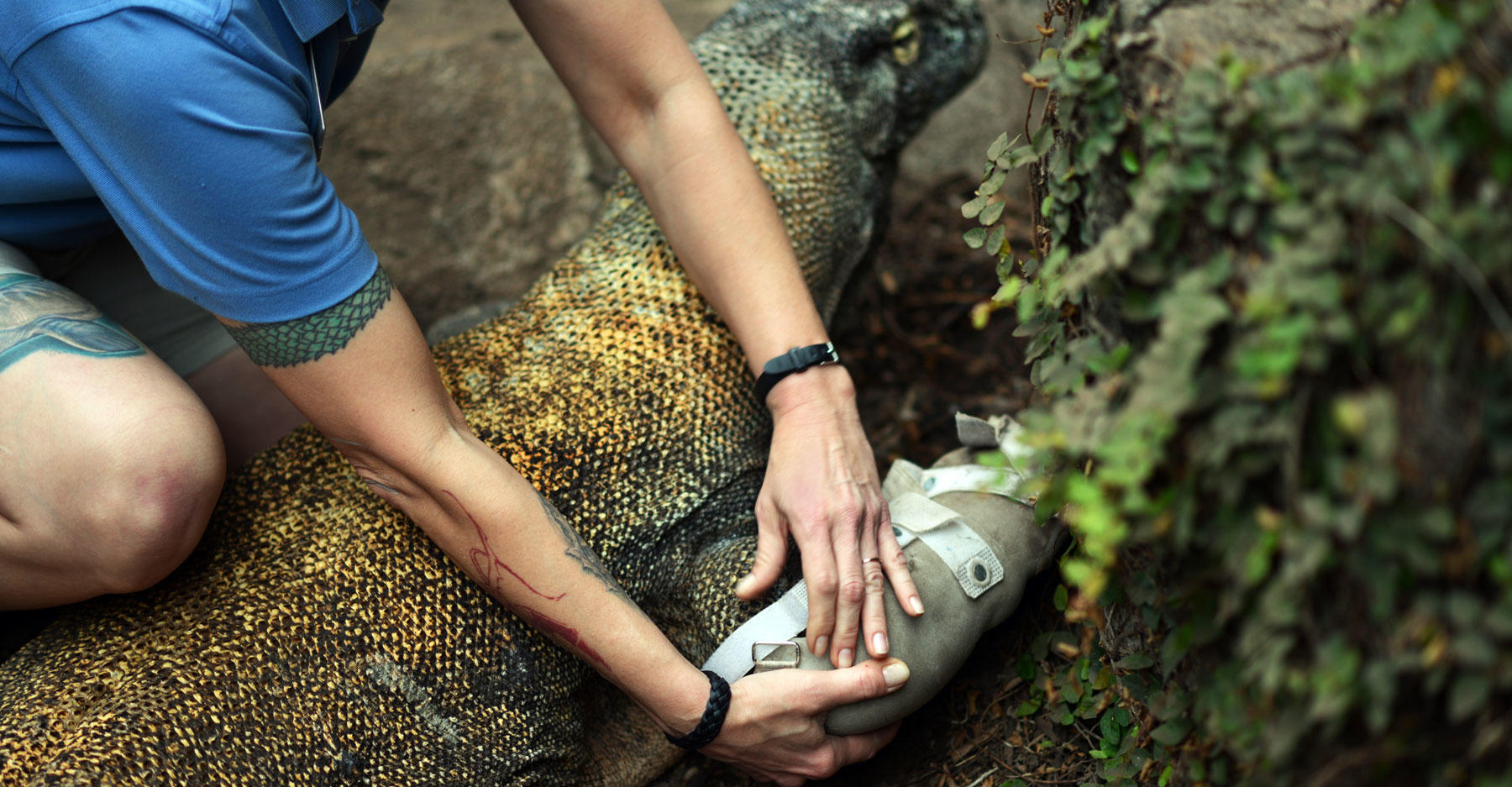 Komodo dragon with orthosis