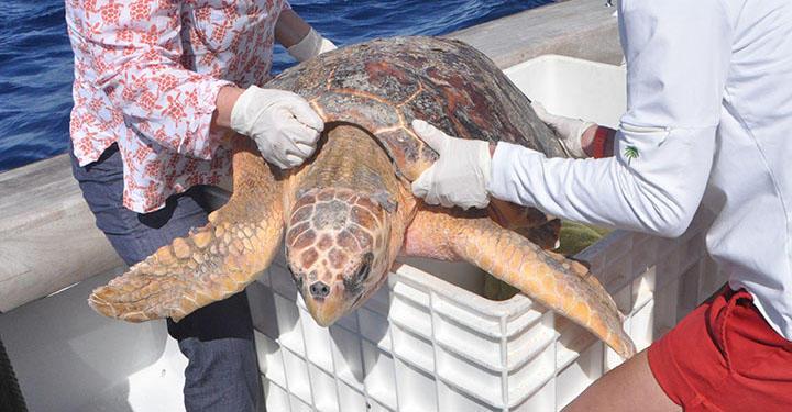 Loggerhead sea turtle release