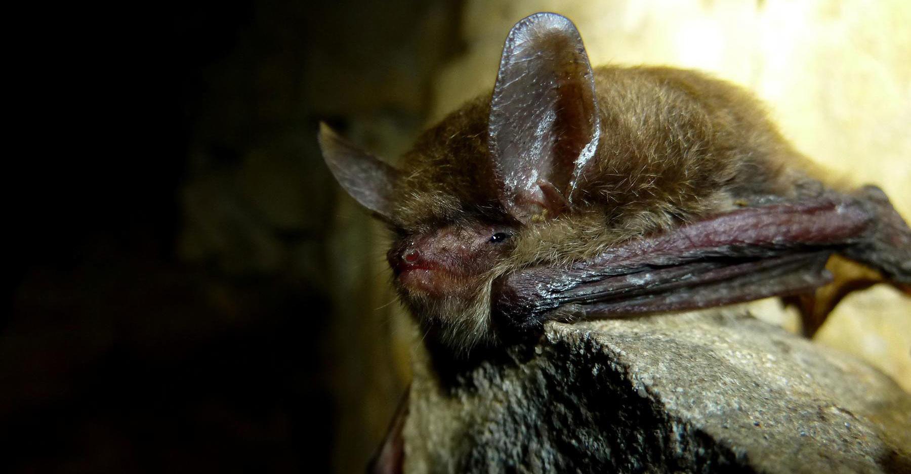 Northern long-eared bat