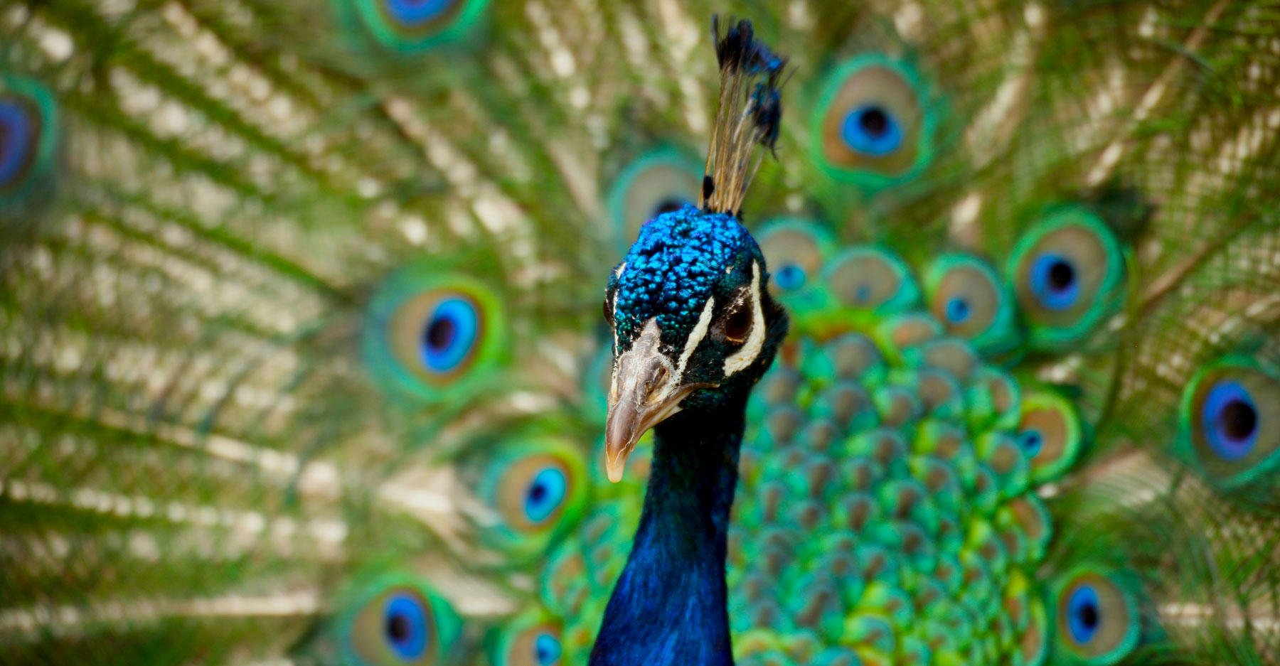 Peacock with tail displayed.