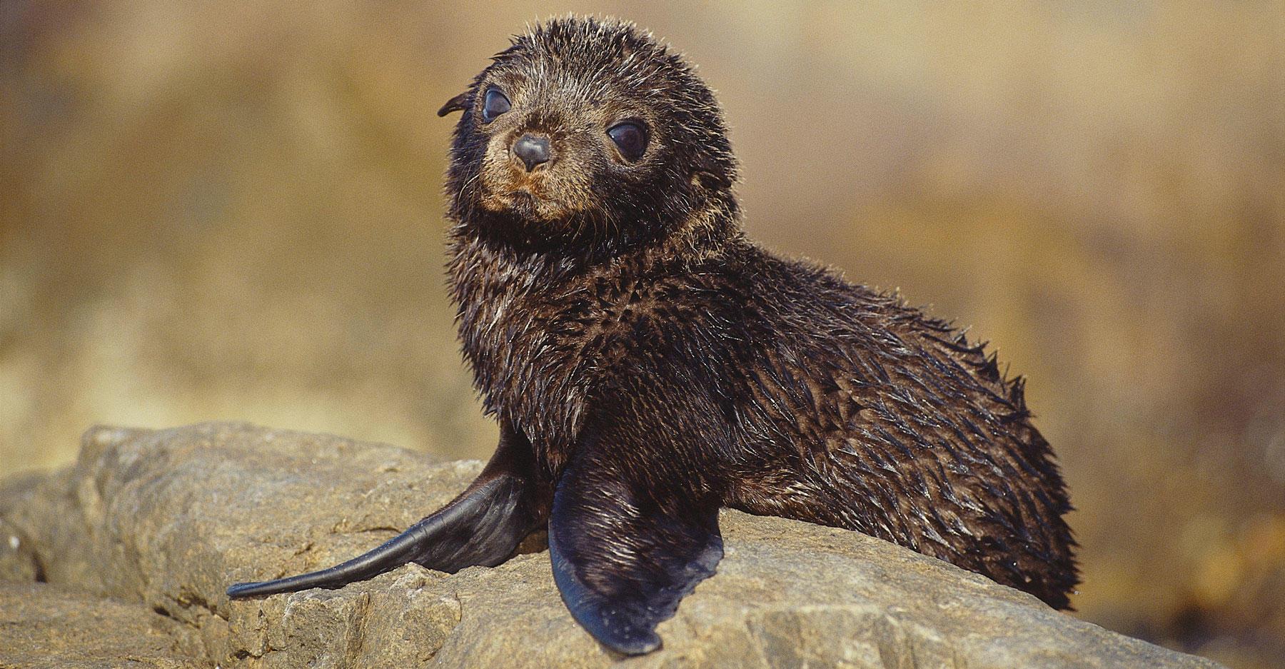 Pup Australian sea lion sits on rock