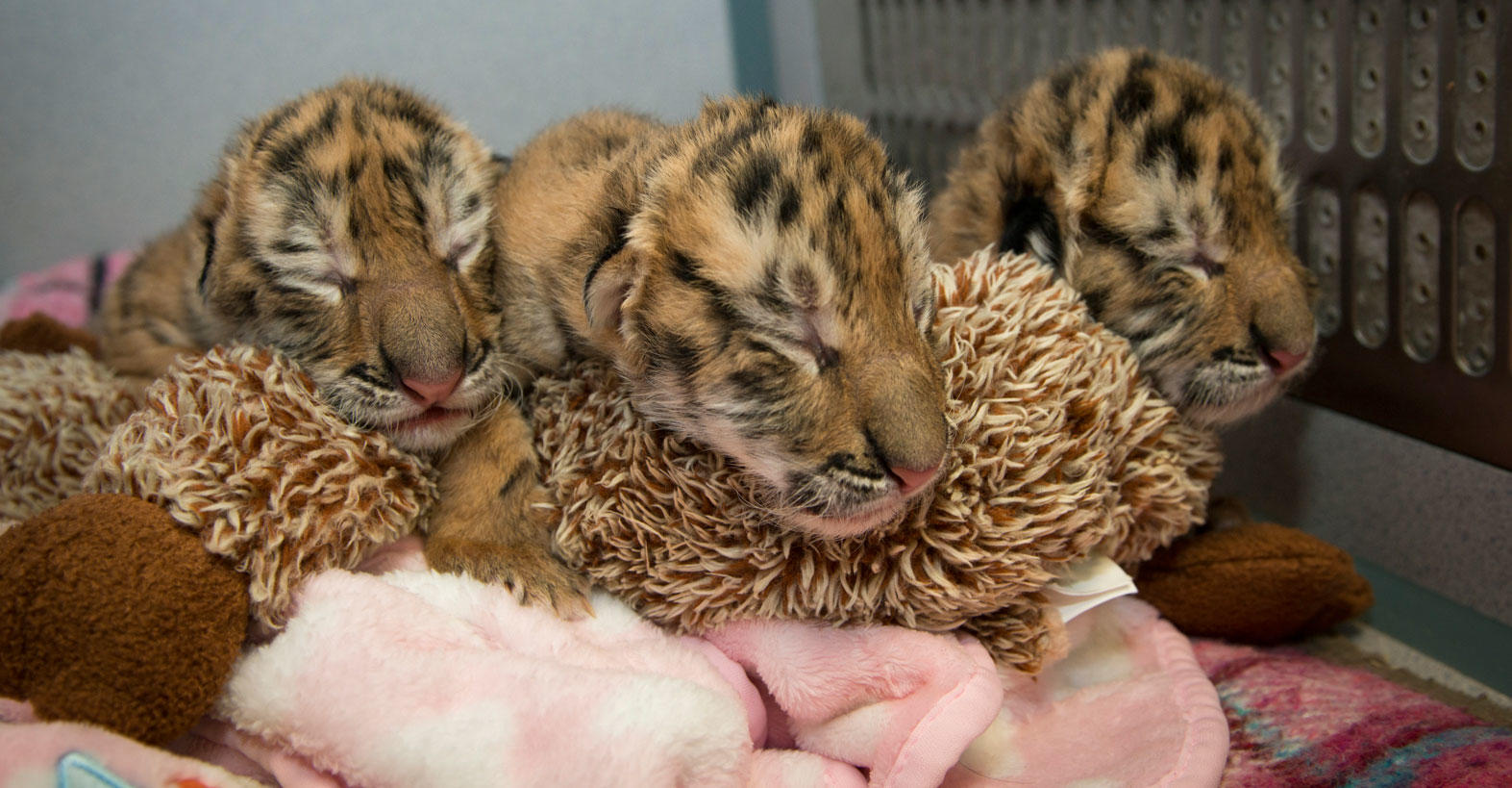 Baby tigers at the Columbus Zoo