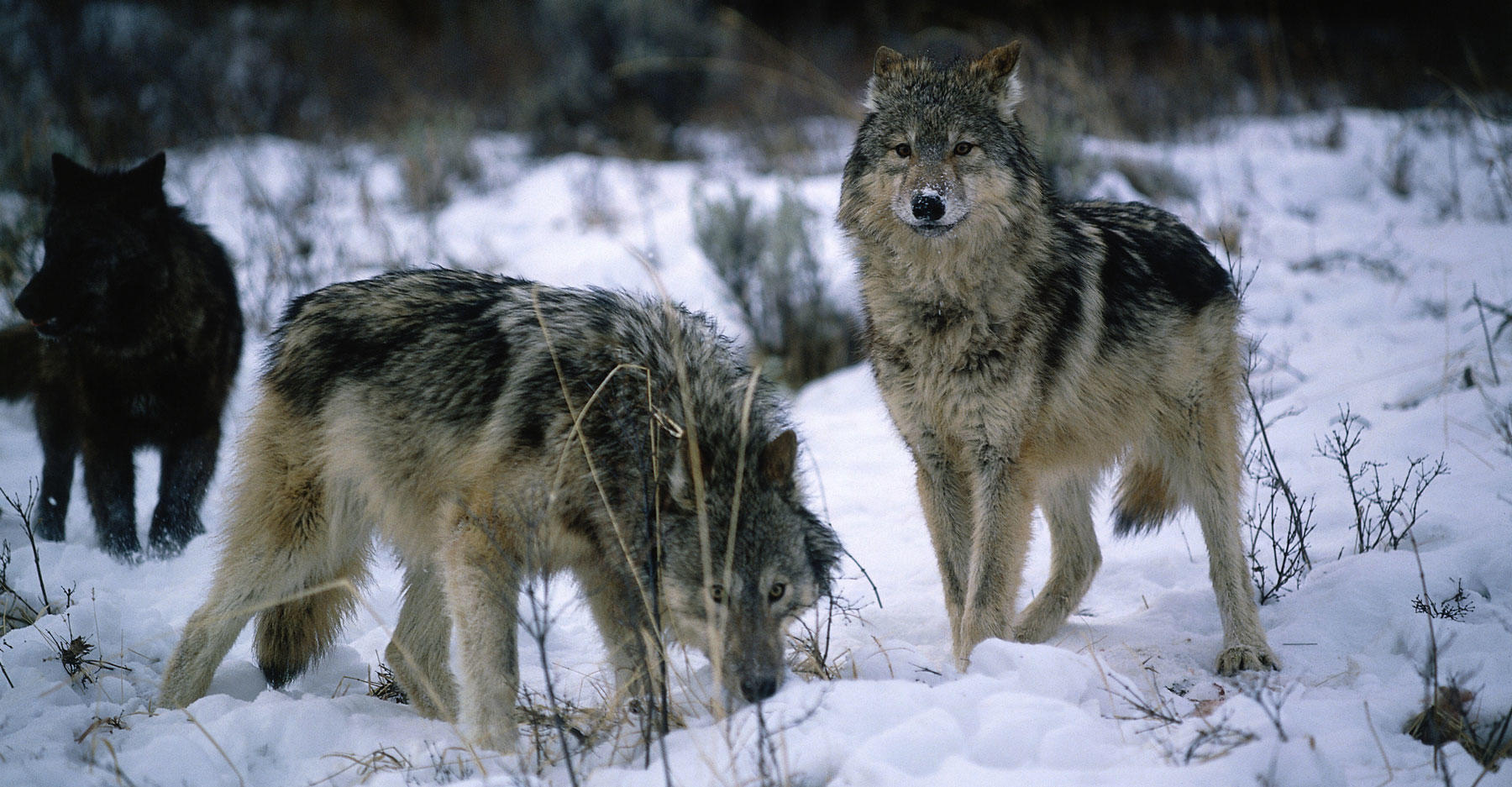 Three Gray wolves stand in snow. Canis lupus.