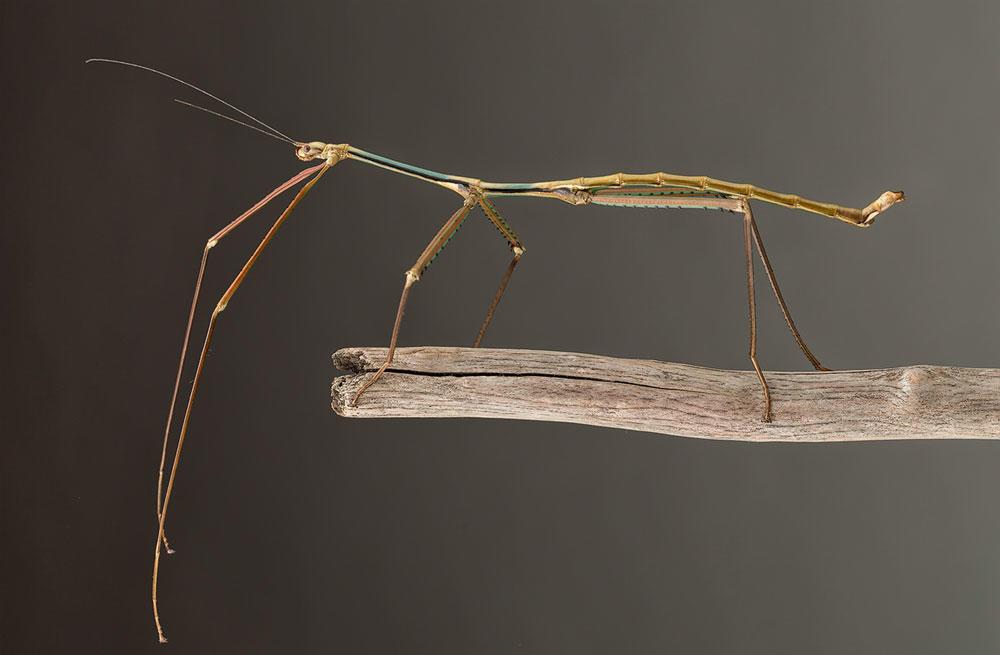 Phryganistria tamdaoensis male