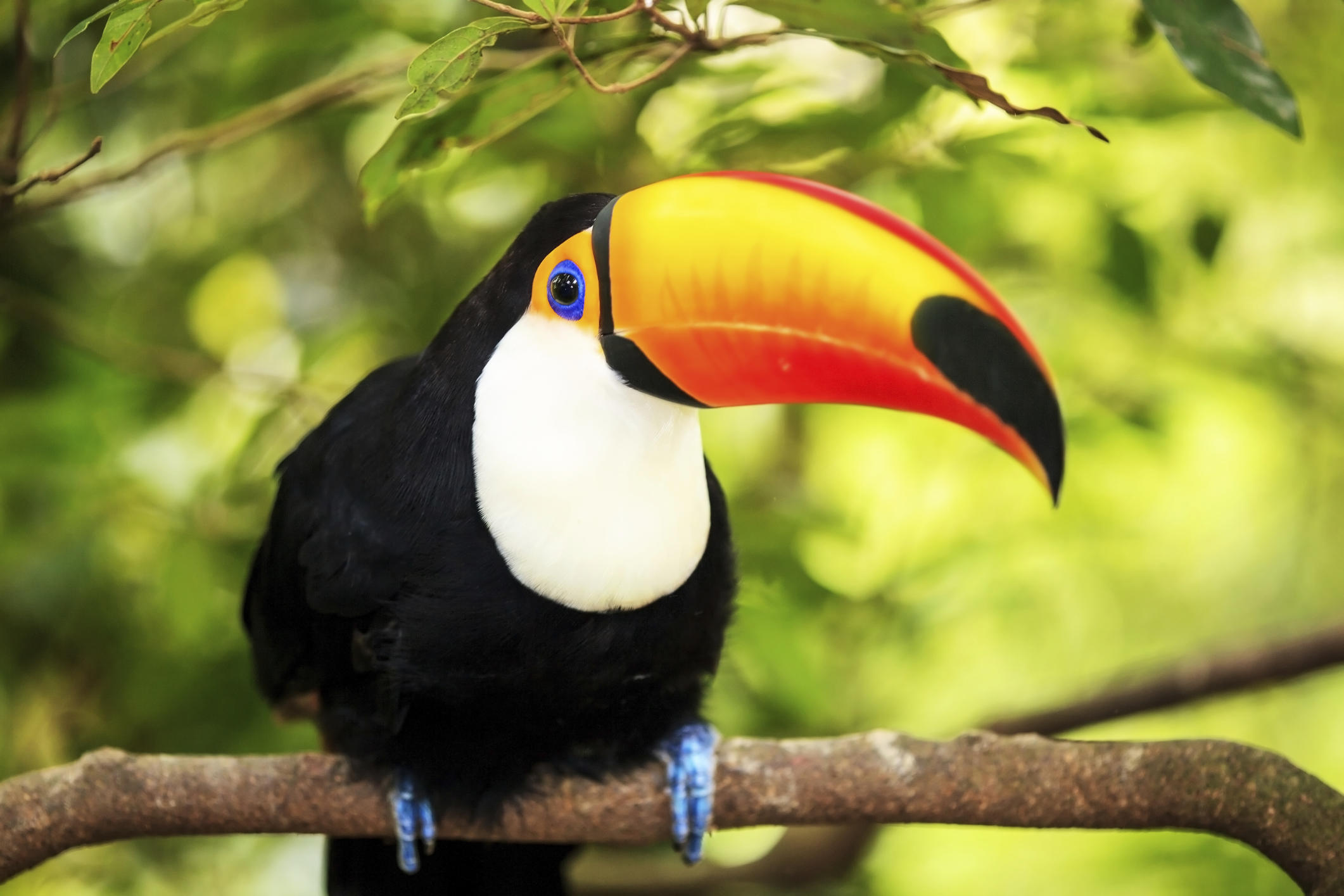 Colorful toucan on a tree