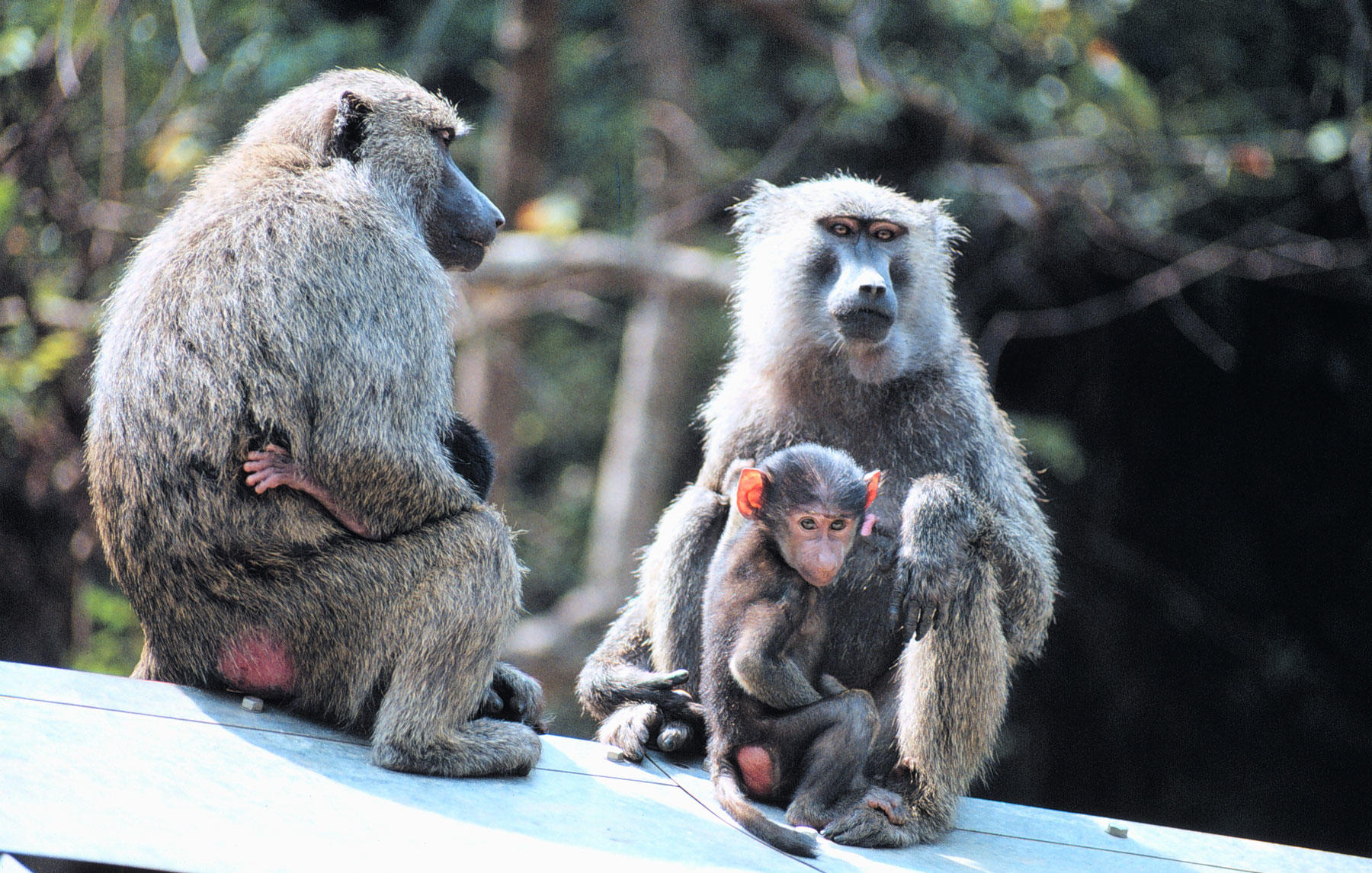 Two (gray, brown) adult baboons (sitting, facing) each other, baby baboon sitting between legs of each adult, trees in background.