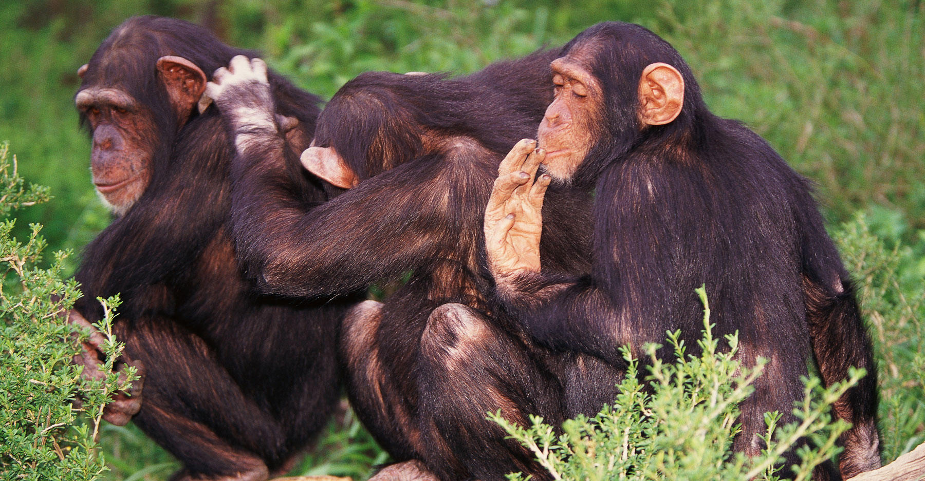 Three chimps grooming each other.
