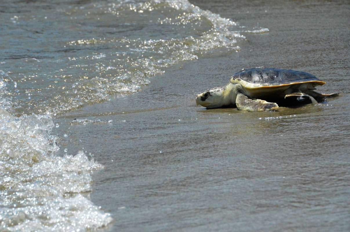 SC Aquarium Releases Turtles