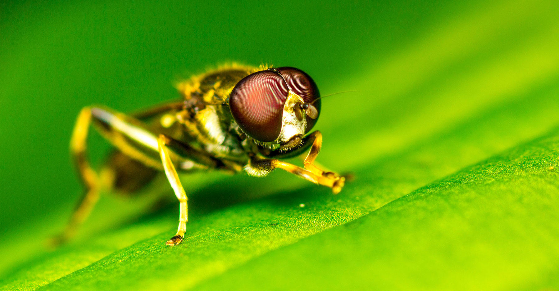 Male fruit fly on a blade of grass macro