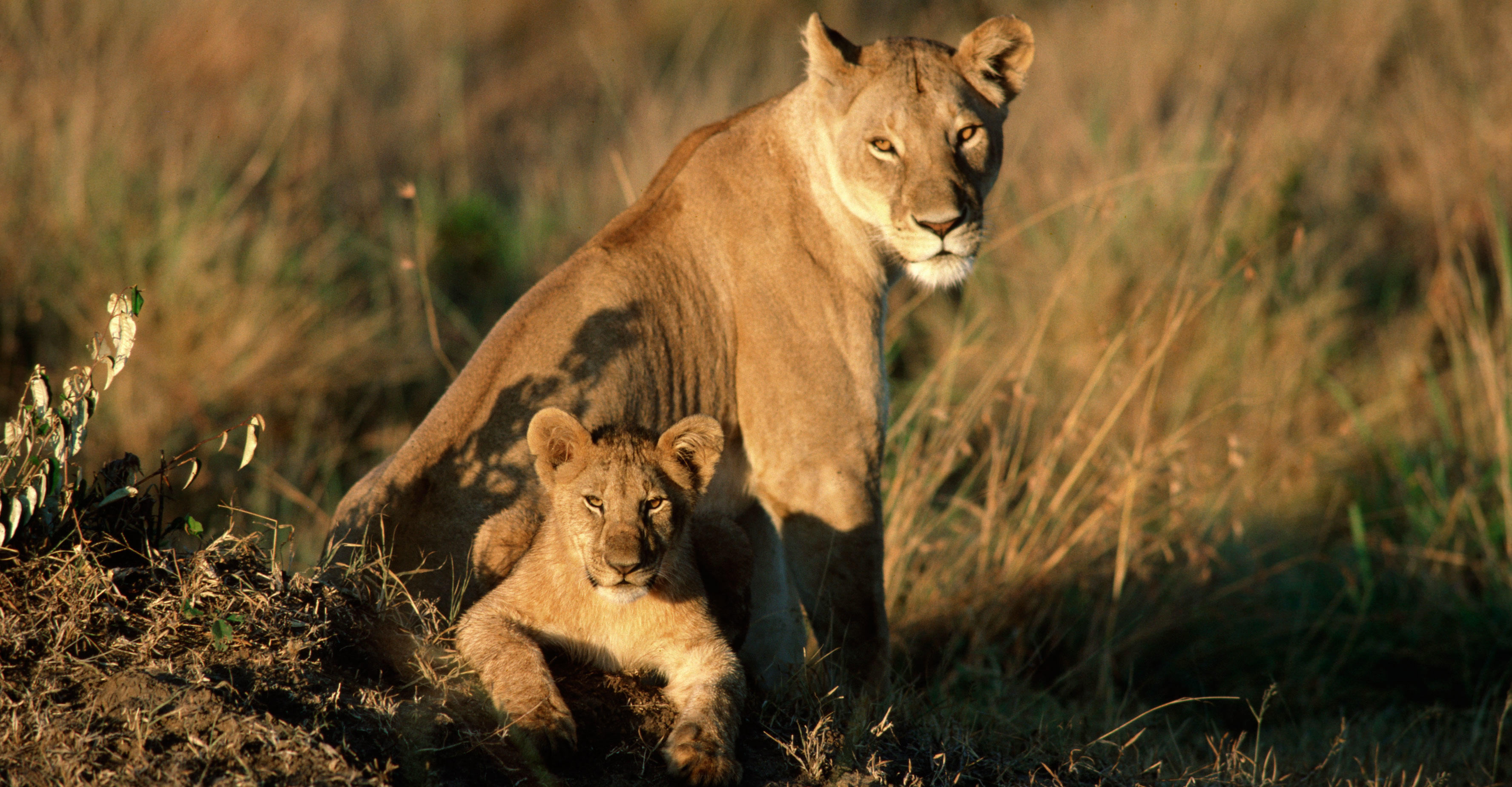 Lion cub and mother rest in grass. Panthera leo. Masai Mara Game Reserve, Kenya.