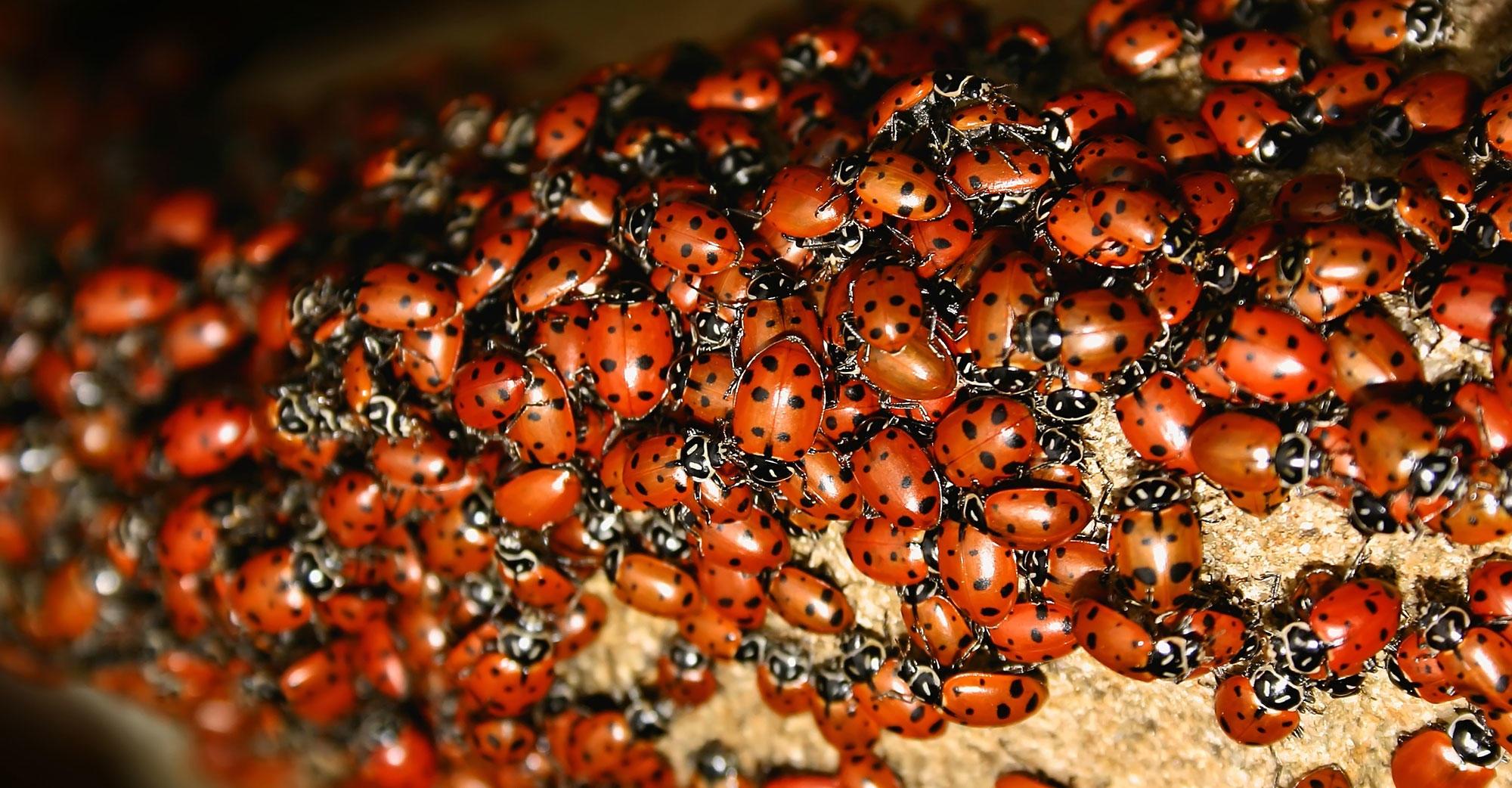 Ladybug (Harmonia axyridis) Swarm