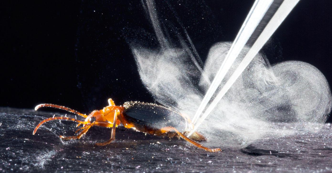 Bombardier beetle fires