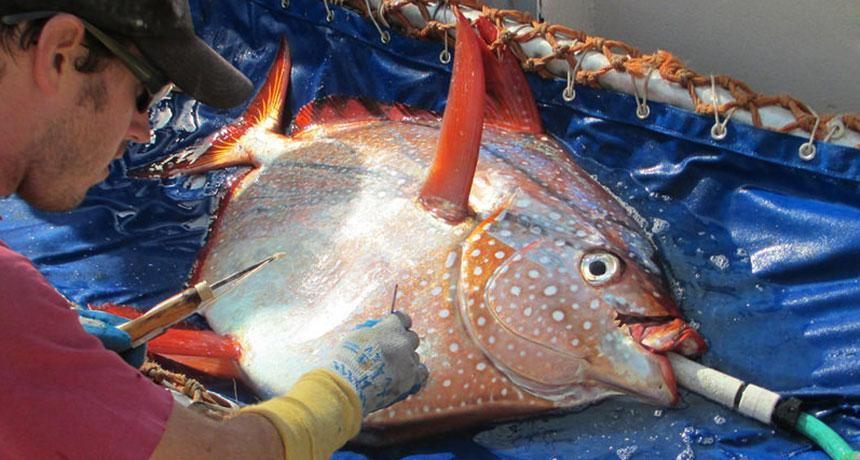 Warm-blooded Opah
