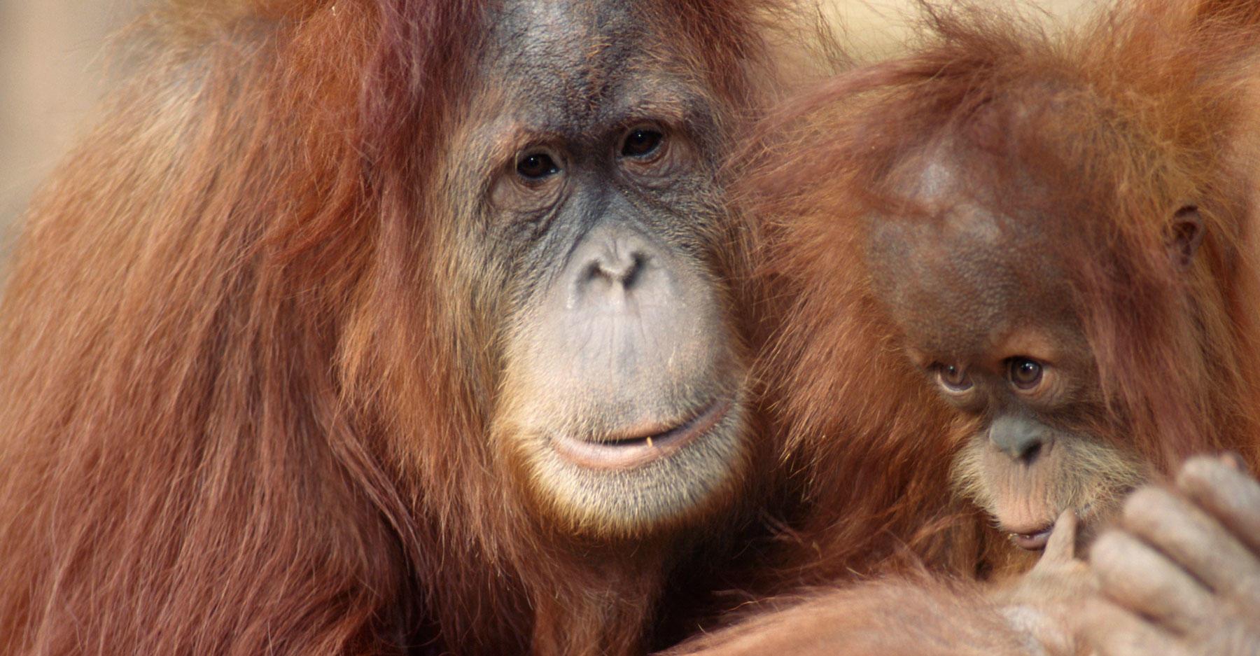 Detail of captive female orangutan with young. Pongo pygmaeus.