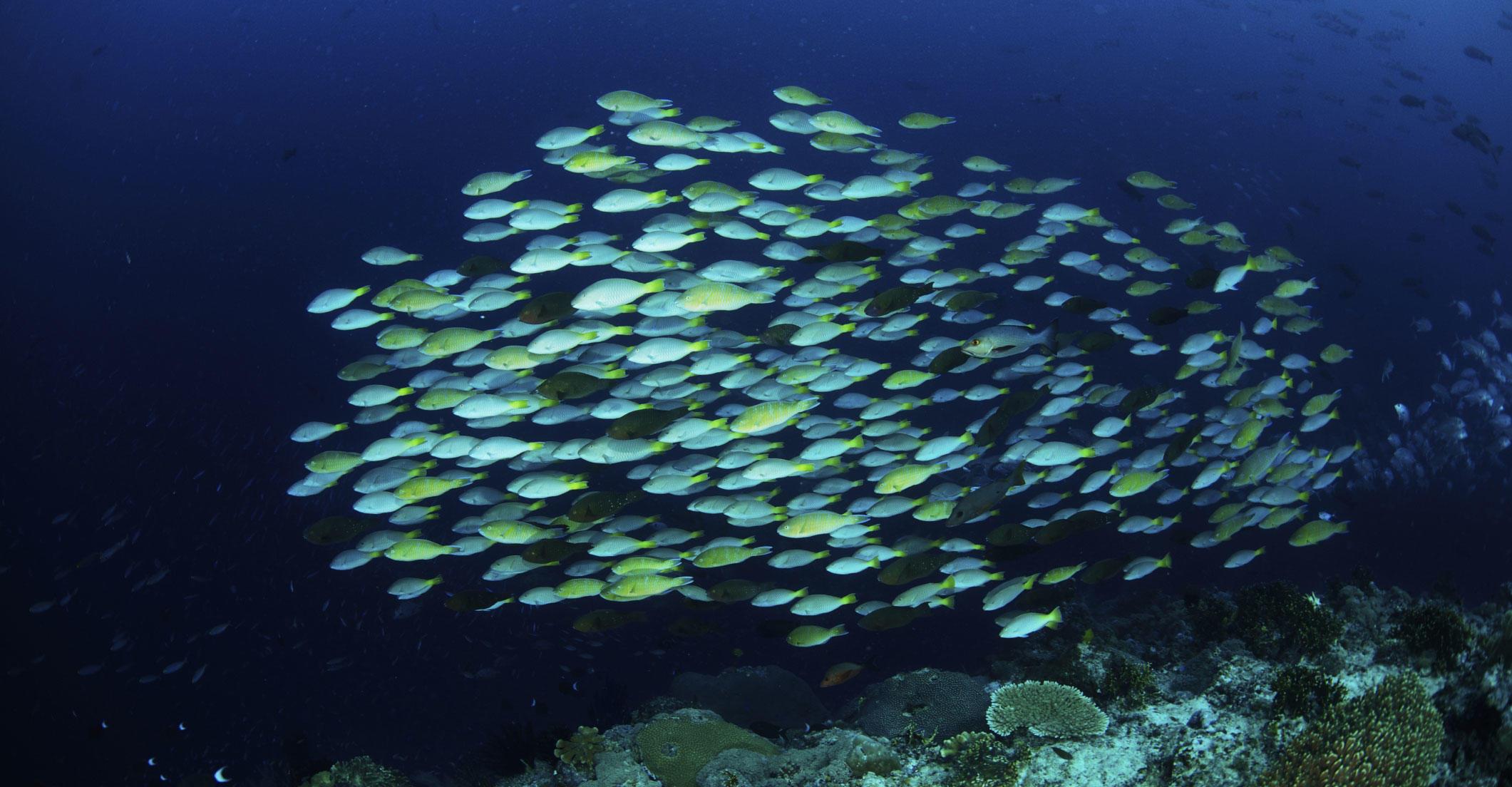 School of parrot fish in the Solomon Islands