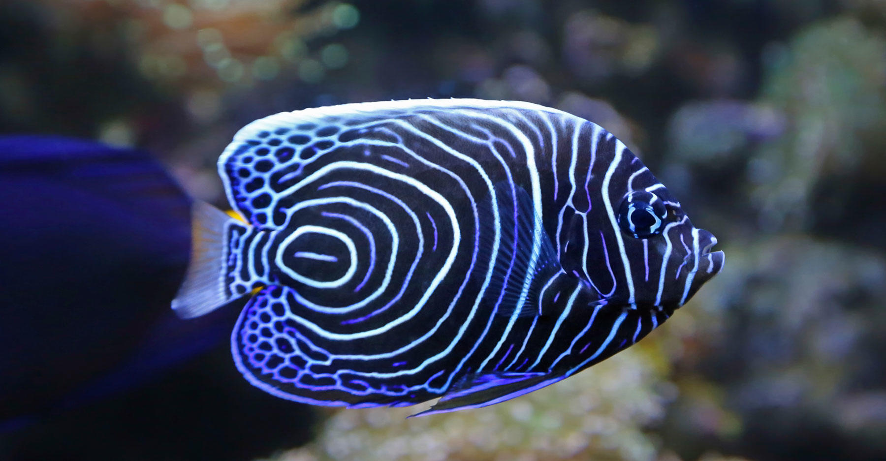 Close-up view of a Juvenile Emperor angelfish