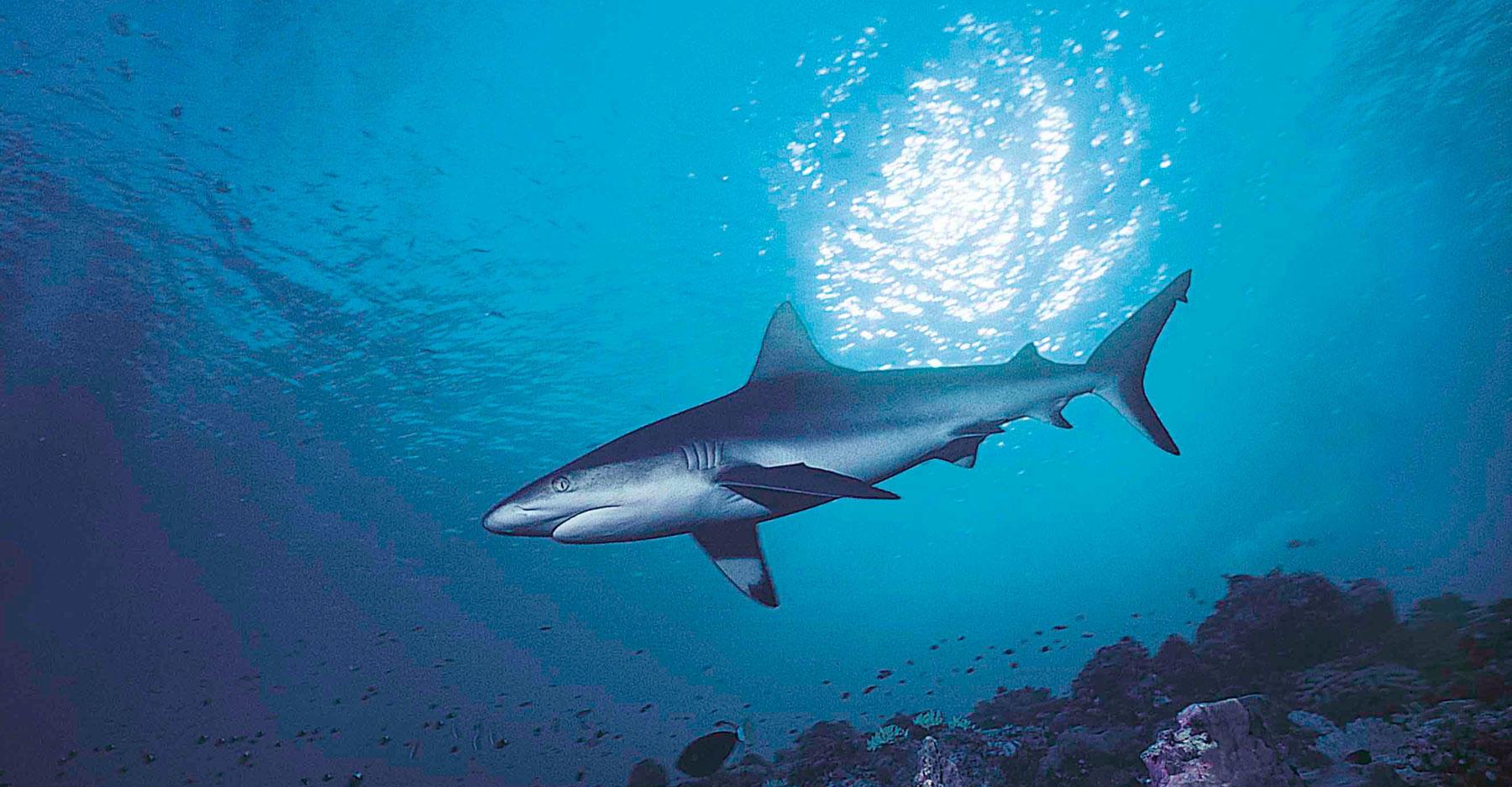 Large silky shark