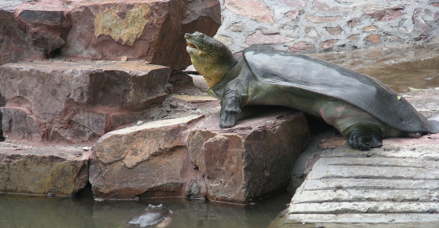 Yangtze giant softshell turtle (Rafetus swinhoei)