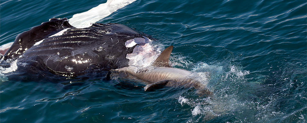 Shark Junk Food
