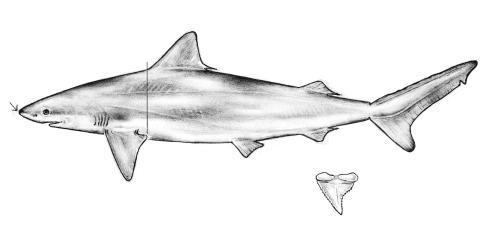 Blacknose shark drawing