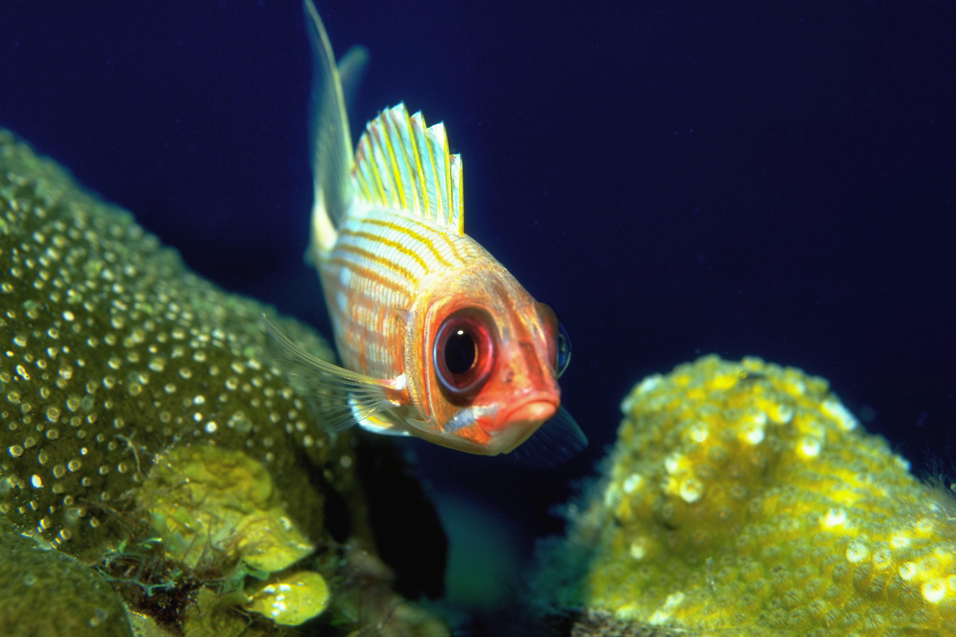 Squirrelfish Swimming by Coral