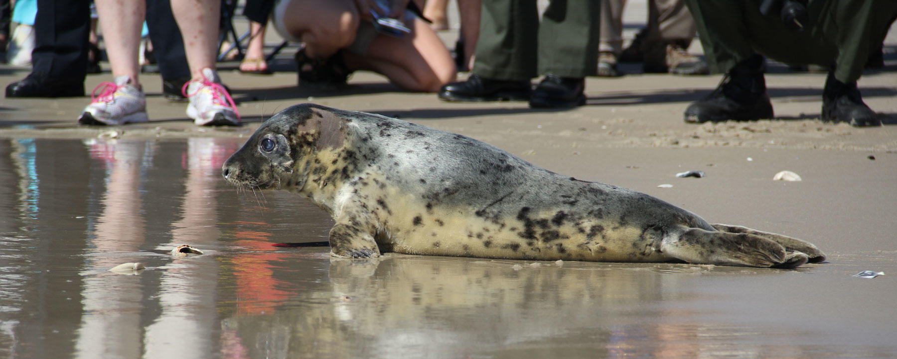 Lily the grey seal