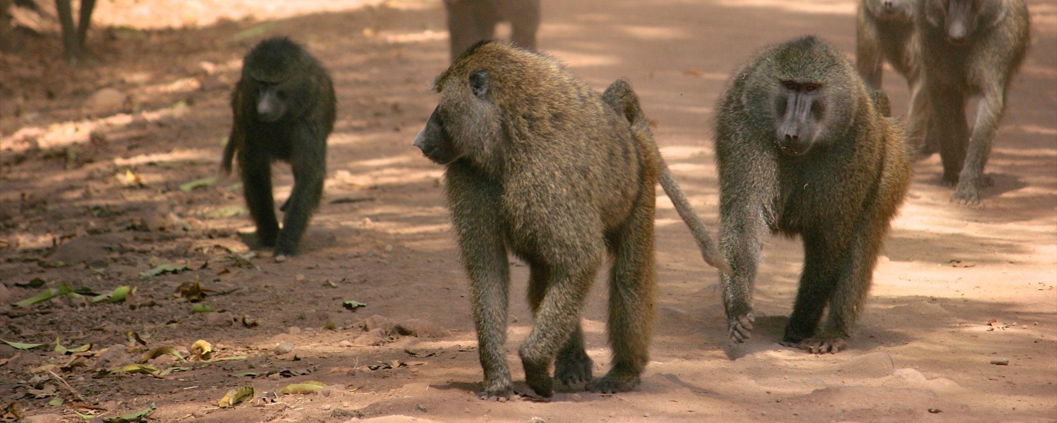 Olive baboons in Kenya